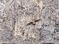 Lammergeier (Gypaetus barbatus) (26237464678).jpg