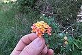 Lantana camara flowerhead DC2.jpg