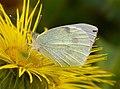 Large White Pieris brassicae (27783655159).jpg