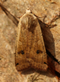 Large Yellow Underwing (42537610474).png