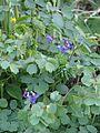 Lathyrus vernus Cyaneus - Flickr - peganum (1).jpg
