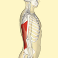 Latissimus dorsi muscle lateral.png