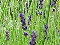 LavendelHidcote11.jpg