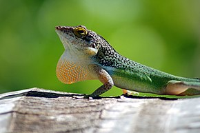 Description de l'image Leach's anole.jpg.