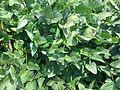 Leaves of Glycine max.jpg