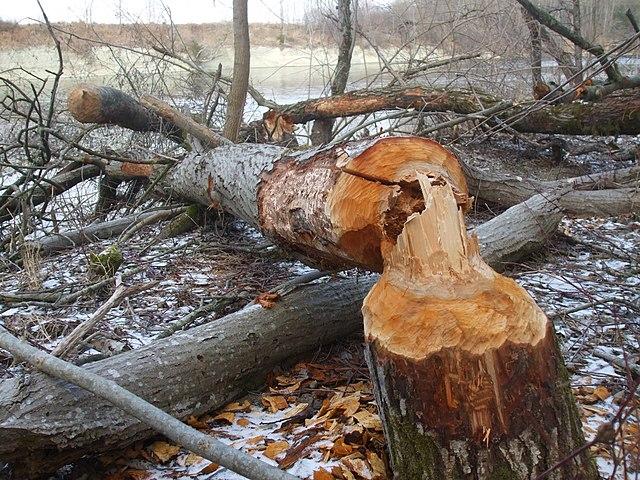 Ohlodané stromy od bobrov