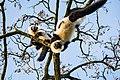 Lemur (26081071208).jpg