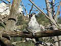 Lemur catta Jerusalem Biblical Zoo072.jpg