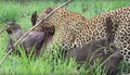 Leopard Killing Warthog Graphic Latest Wildlife Sightings Hd 5.png