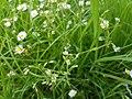Lesser stitchwort on lawn.jpg