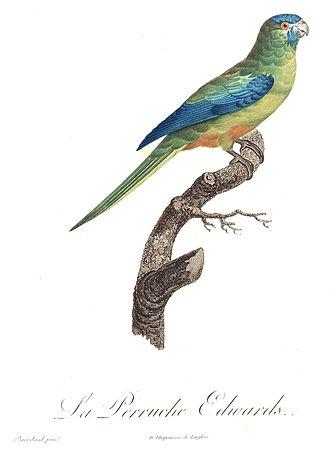 Turquoise parrot - Illustration by Jacques Barraband in  François Levaillant's  Histoire Naturelle des Perroquets (1805)