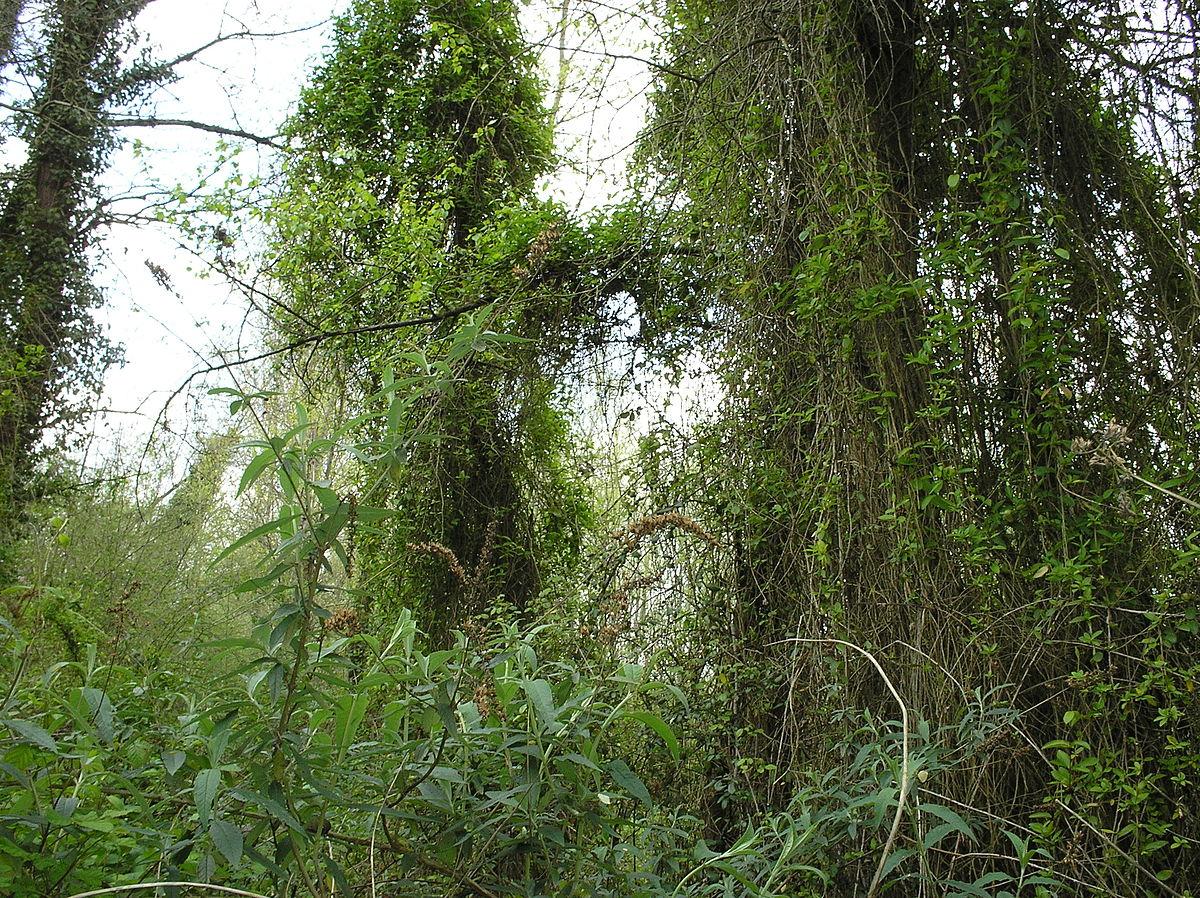 Comment Planter Une Vigne Grimpante liane (plante) — wikipédia