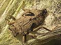 Libellennimf habitus 20070811 3525.jpg