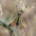 Libelloides longicornis ZK3 09829 qc 3k.jpg