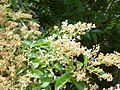 Ligustrum sinense leaves and flowers 1.jpg