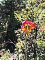 Lilium occidentale 8.jpg