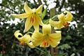 Lilium szovitsianum (9086604737).jpg