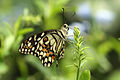 Lime Butterfly Papilio demoleus.jpg