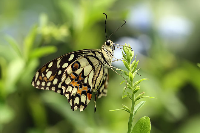 English: Lime Butterfly Papilio demoleus, Bang...
