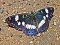 Limenitis reducta (Nymphalidae) (Southern White Admiral) - (imago), Narbolia (comuni), Italy.jpg
