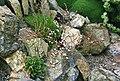 Limonium bellidifolium 1.jpg