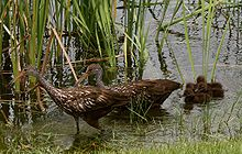 Limpkin Family looking for snails.jpg