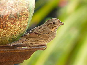 Lincoln's sparrow - Image: Lincoln's Sparrow at bird feeder