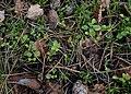 Linnaea borealis kz06.jpg