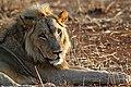 Lion Panthera leo (17046322675).jpg
