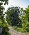 Lipa v Herinku u rasovny-05-2018-dobrejovice.jpg