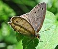 Little Wood-Satyr (Megisto cymela) (9090383146).jpg