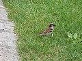 Little birds near the carousel - Place Carnot, Beaune - House sparrow (35086236050).jpg