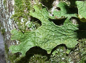 Lobaria pulmonaria - Detail of thallus. Soredia and isidia may be seen on the ridges and margins in full magnification.