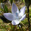 Lomatogonium carinthiacum 310807b.jpg