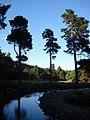 Lonesome pines - geograph.org.uk - 1383805.jpg