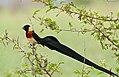 Long-tailed Paradise Whydah (Vidua paradisaea) (17329851342).jpg
