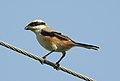 Long-tailed Shrike Lanius schach by Dr. Raju Kasambe DSCN1683 (6).jpg