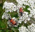 Longhorn beetle. Nustera distigma. Cerambycidae - Flickr - gailhampshire.jpg