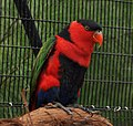 Lorius lory -Cincinnati Zoo, Ohio, USA-8a (6).jpg