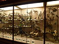 Los Angeles County Museum of Natural History - bird display cases.JPG