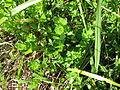 Lotus uliginosus habit7 (10356159666).jpg