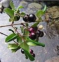Luma apiculata, fruit (8649762847).jpg