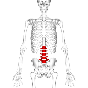 Lumbar vertebrae - Position of human lumbar vertebrae (shown in red). It consists of 5 bones, from top to down, L1, L2, L3, L4 and L5.