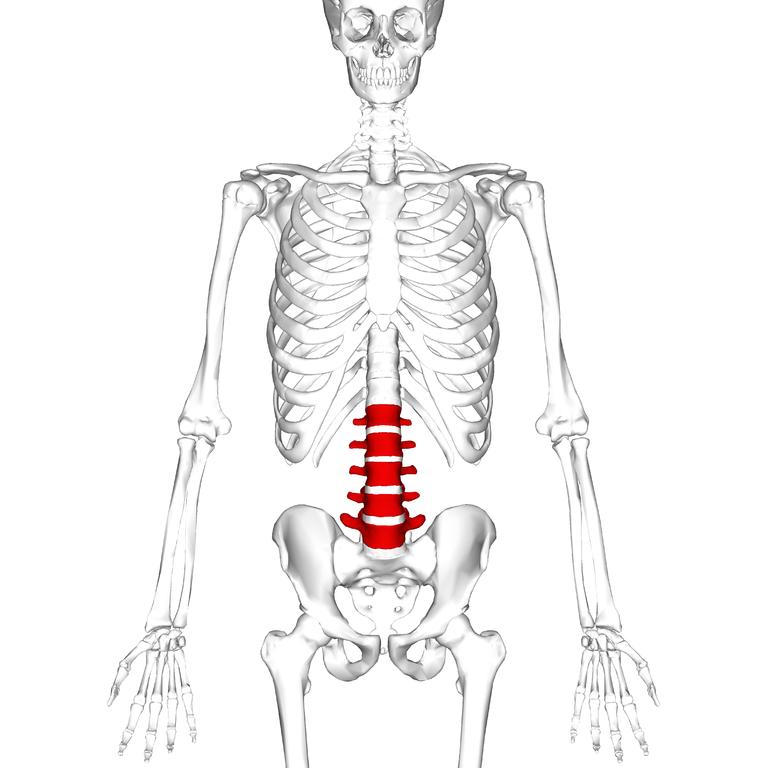 Archivo:Lumbar vertebrae anterior.png - Wikipedia, la enciclopedia libre