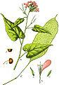 Lunaria rediviva Sturm18.jpg