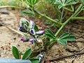 Lupinus nipomensis flower.jpg