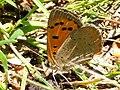 Lycaena phlaeas 132546020.jpg