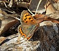 Lycaena phlaeas Small Copper, 3rd brood - Flickr - gailhampshire.jpg