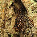 Lycid Beetle Exuviae - Flickr - treegrow (1).jpg