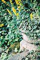 Lysimachia in planter.jpg